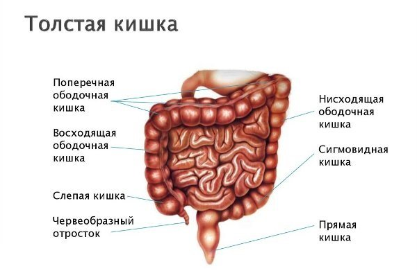 Толстый кишечник отделы