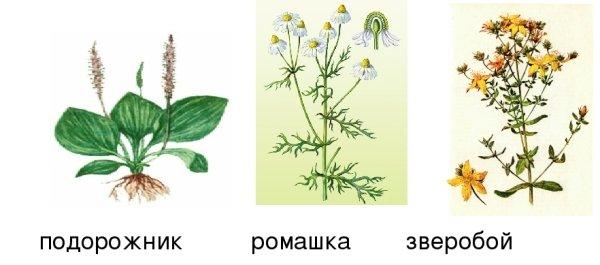 Цветки ромашки; подорожник; зверобой.