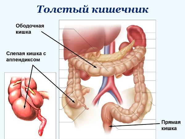 Строение толстого кишечника
