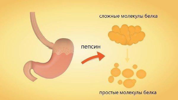 Фермент пепсин в желудке